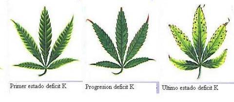 Carencias mas comunes en el cultivo de la marihuana i for Potasio para plantas