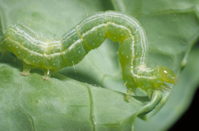 cabbage-looper