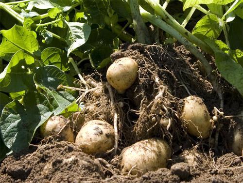 Cultivo de la patata ecol gica blog de for Que es una mesa de cultivo