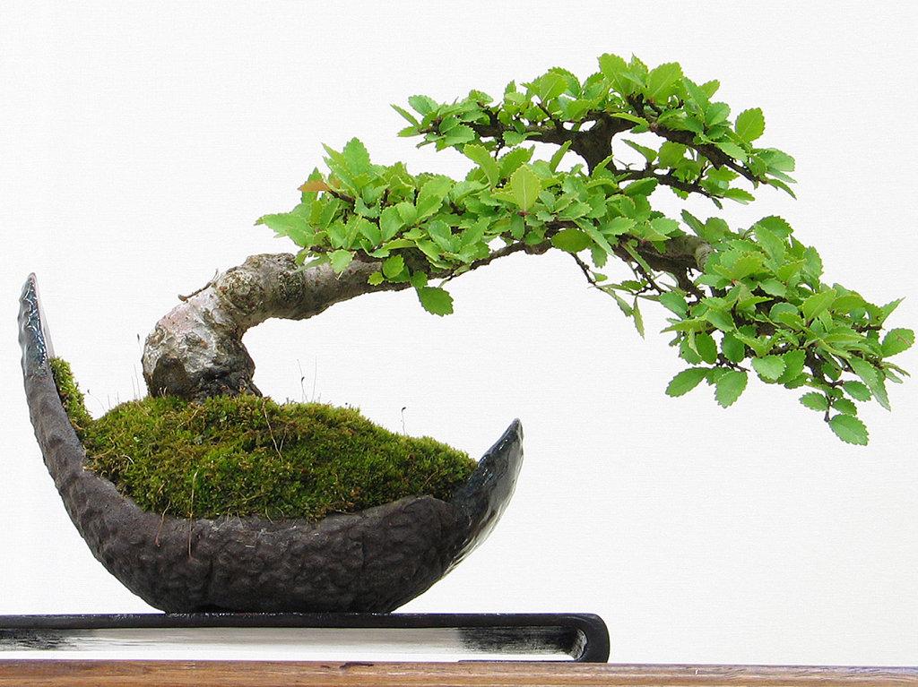 Conocimientos b sicos para cultivar un bons i blog de - Como cultivar bonsai ...