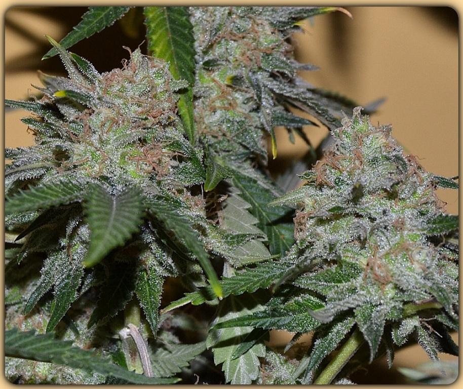 F sforo y potasio en el cultivo de marihuana blog de for Potasio para plantas