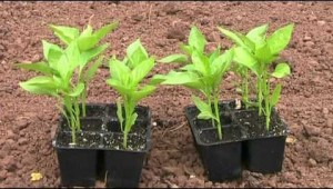 planton pimiento