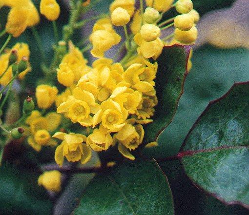 Mahonia_aquifolium_flowers