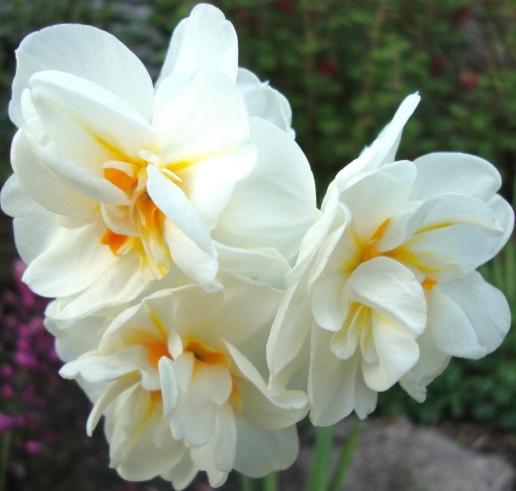 narcisos-blancos