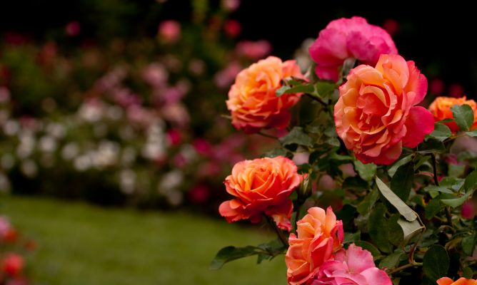 jardineria-685-rosales-variedades-plantacion-xl-668x400x80xX